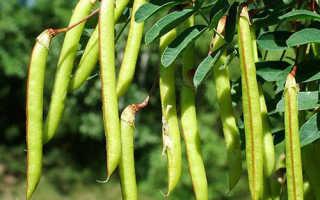 Акация желтая: выращивание и уход, способы размножения