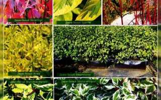 Дерен: виды фото и описание, Сайт о саде, даче и комнатных растениях