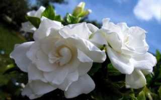 Особенности выращивания гардении в домашних условиях