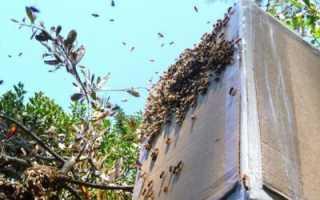 Ловля роев: советы опытных пчеловодов