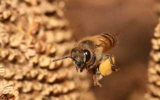Пчелиная пыльца: полезные свойства, противопоказания, как принимать