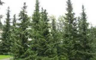 Сербская ель: описание, сорта и виды- Как посадить и выращивать своими руками Видео и Фото