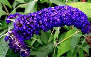 Будлея: виды, посадка и уход в открытом грунте