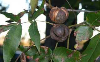 Гикори или Кария — род деревьев семейства Ореховые