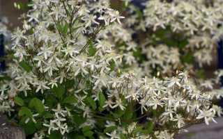 Клематис маньчжурский: как вырастить из семян в домашних условиях