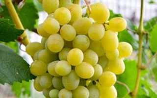 Виноград Адлер — описание сорта с фото, отзывы, посадка и уход