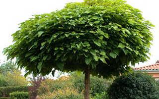 Дерево катальпа: фото видов, размножение, посадка и уход