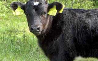 Сердце коровы, сердечно сосудистая система КРС (фото и видео)