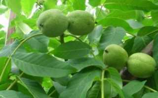 Зеленый орех как лекарство: в чем польза, лечение, рецепты приготовления настойки (на водке или на спирту)