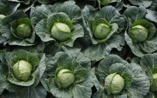 Ранняя белокачанная капуста: 3 лучших сорта с названиями, характеристики