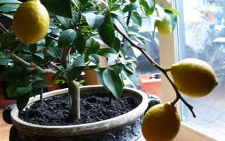 Комнатный лимон: уход в домашних условиях, посадка, размножение, пересадка, обрезка, виды, фото растения