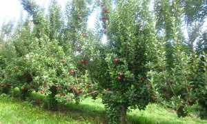 Уход за яблоней: все о правильной обрезке весной и осенью