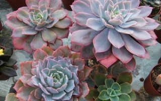 Виды и разновидности декоративной эхеверии: фото и описание, echeveria микс
