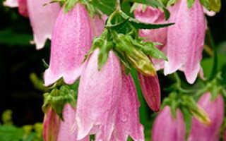 Колокольчики многолетние садовые — сорта, фото с названиями и описанием