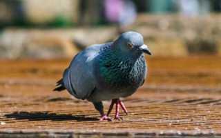 Родотиум для голубей: описание препарата, инструкция