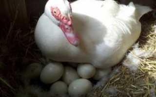 Яйценоскость индоуток в домашних условиях: начало кладки яиц, среднегодовые показатели