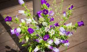 Колокольчик персиколистный: посадка и уход, выращивание из семян, описание