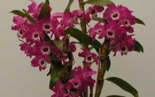 Популярные виды орхидеи Дендробиум: названия и фото, выращивание в домашних условиях, способы размножения