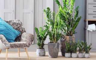 Как ухаживать за замиокулькас в домашних условиях правильно?