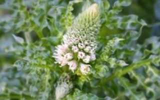 Душистая резеда: как вырастить цветок на клумбе