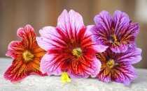 Сальпиглоссис: выращивание из семян, посадка и уход в открытом грунте фото
