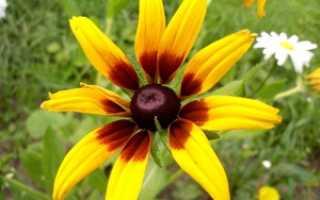 Рудбекии: уход и характеристики и особенности посадки и выращивания цветка однолетнего и многолетнего