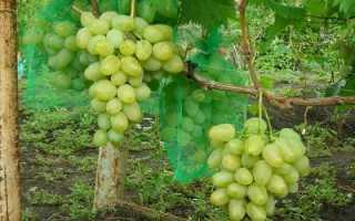 Виноград Монарх: описание сорта, фото, отзывы