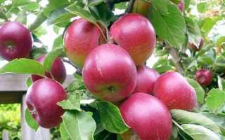 Яблоня — Брусничное: описание сорта, фото, отзывы