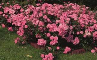 Почвопокровные розы: важные советы по посадке и уходу