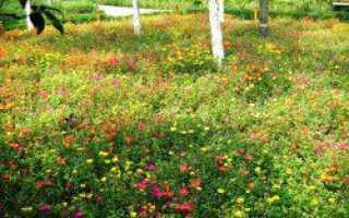 Мавританский газон: плюсы и минусы, состав, отзывы