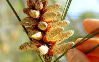 Пыльца сосны: полезные свойства, как принимать, когда собирать