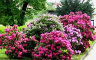 Как подобрать цветущие кустарники для дачи, чтобы они цвели весь сезон