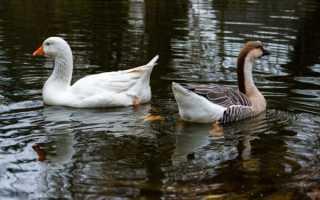 Дикие гуси: породы, виды, описание, характеристика и фото