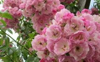 Морщинистая роза ругоза: основные особенности ухода и посадки Альбы