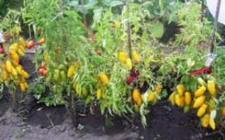 Описание, характеристика, посев на рассаду, подкормка, урожайность, фото, видео и самые распространенные болезни томатов сорта «Банановые ноги»
