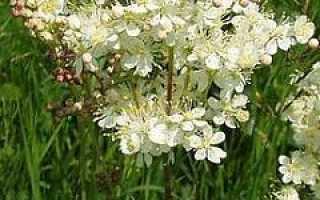 Трава Лабазник – полезные свойства, применение, показания