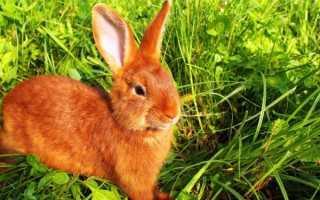 Рыжий кролик: описание пород
