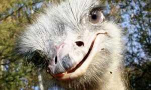Все виды (породы) страусов: описание, фото, особенности содержания