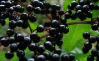 Бузина — польза и вред ягод, лечебные свойства и противопоказания черной и красной бузины