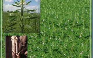 Кунжут и особенности его выращивания