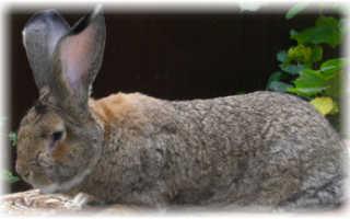 Кролики породы Обер: описание и характеристики