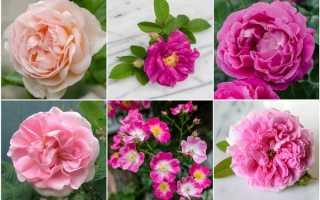 Классификация роз по группам и их особенности