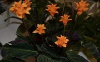 Калатея кроката: описание, особенности выращивания и ухода в домашних условиях, фото