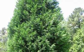Купрессоципарис х Cupressocyparis — Сажаем и выращиваем растения хвойные – они восхищения нашего достойны