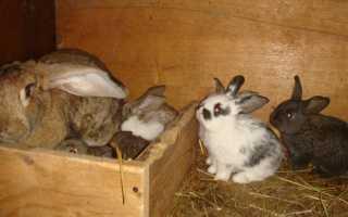 Беременность у кроликов: сколько длится и сколько кроликов может принести крольчиха?