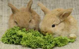 Можно ли давать кроликам петрушку: для чего давать?