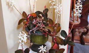 Орхидея лудизия уход в домашних условиях Фото Размножение черенками