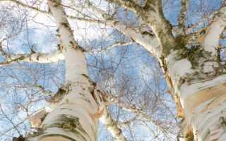 Белая берёза: описание, интересные факты (фото)