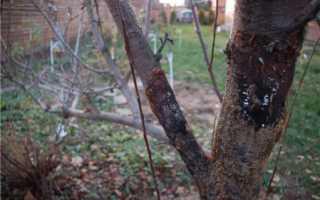 Болезни и вредители груши: обработка деревьев, лечение и профилактика