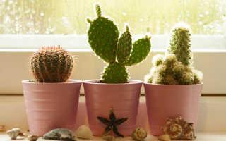 Как ухаживать за кактусом в домашних условиях, как часто поливать, видео
